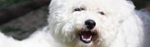 Hodowla psów Bichon Frise